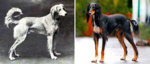 Saluki Persian Greyhound