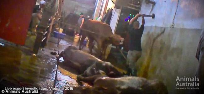 Βίντεο-σοκ: Σκοτώνουν με βαριοπούλες τις αγελάδες σε κτηνοτροφείο!