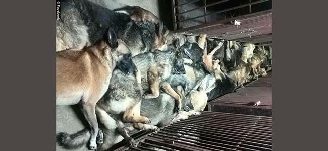 Σκότωσαν 24 εκπαιδευμένα λυκόσκυλα γιατί δεν ήταν πια χρήσιμα στην εταιρεία!
