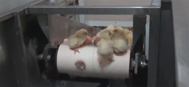 """Σοκαριστικό βίντεο: Δείτε πως σκοτώνουν τα """"άχρηστα"""" κοτοπουλάκια (ενώ είναι ζωντανά) οι βιομηχανίες!"""