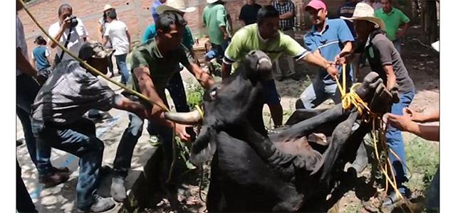 Σοκ! Μεξικανοί θυσιάζουν ζωντανό ταύρο...και πίνουν το αίμα του ενώ είναι ζωντανός! (Βίντεο)