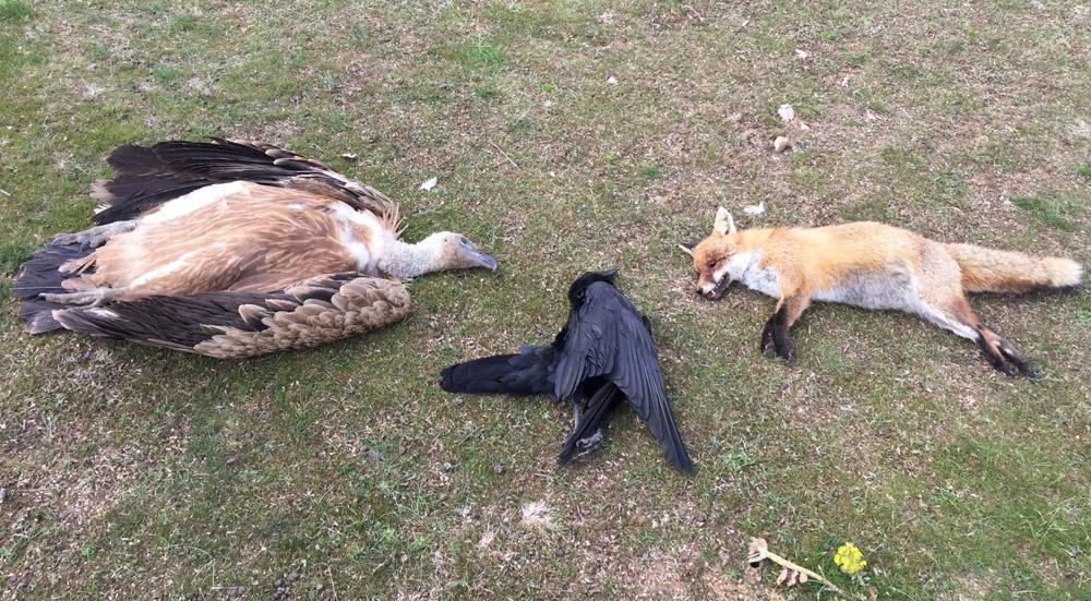 Στην Θράκη σκότωσαν άγρια και σπάνια πτηνά χρησιμοποιώντας ως δόλωμα δηλητηριασμένο νεκρό άλογο!