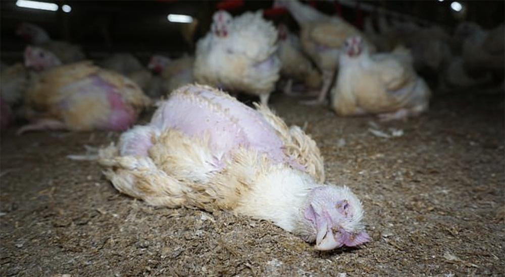 Κοτόπουλα που δυσκολεύονται να περπατήσουν ή να αναπνεύσουν καταφεύγουν στον κανιβαλισμό. Αυτοί προμηθεύουν τα super-market Lidl - Asda και Nando's (Βίντεο)